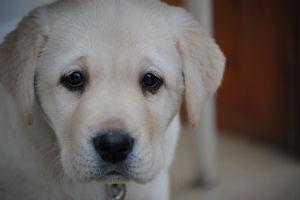 Opleiding blindengeleidehonden en hulphonden